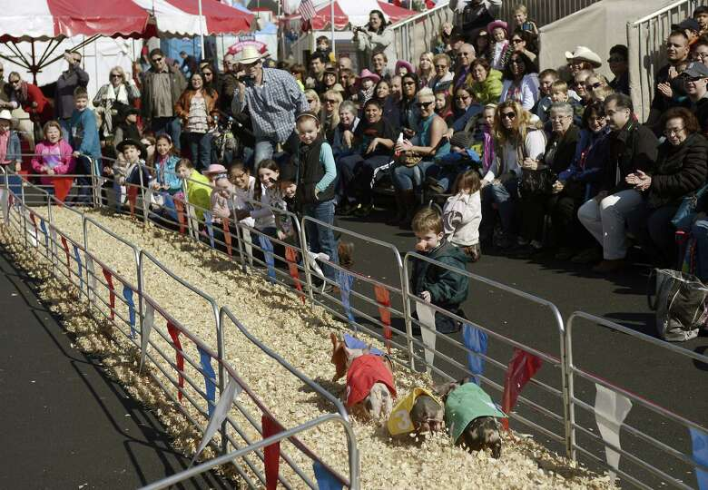 Pig races, among the top family favorites at the San Antonio Stock Show and Rodeo, always draw a hap