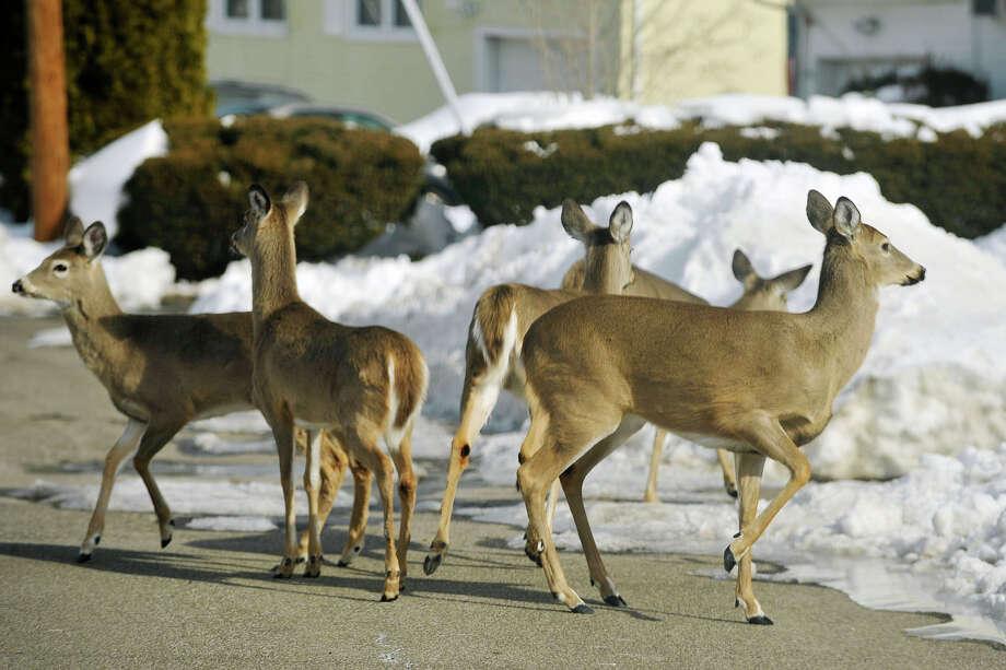 A herd of five deer walk along Autumn Lane in Stamford, Conn., on Sunday, Feb. 9, 2014. Photo: Jason Rearick / Stamford Advocate