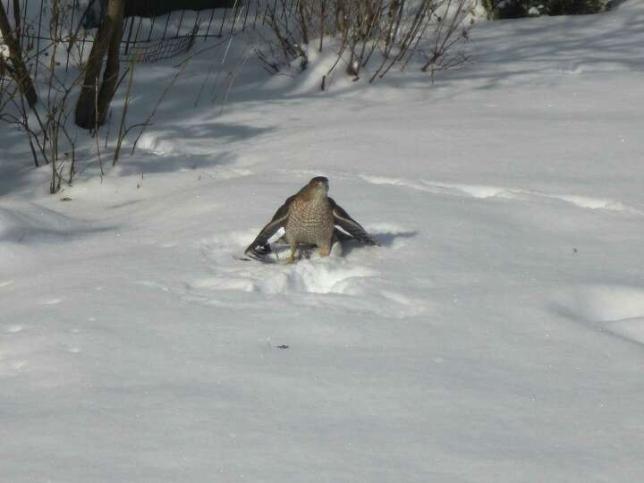 There's quite the story behind this hawk. Bernice Aviza of Albany says she put out bird food Thursda