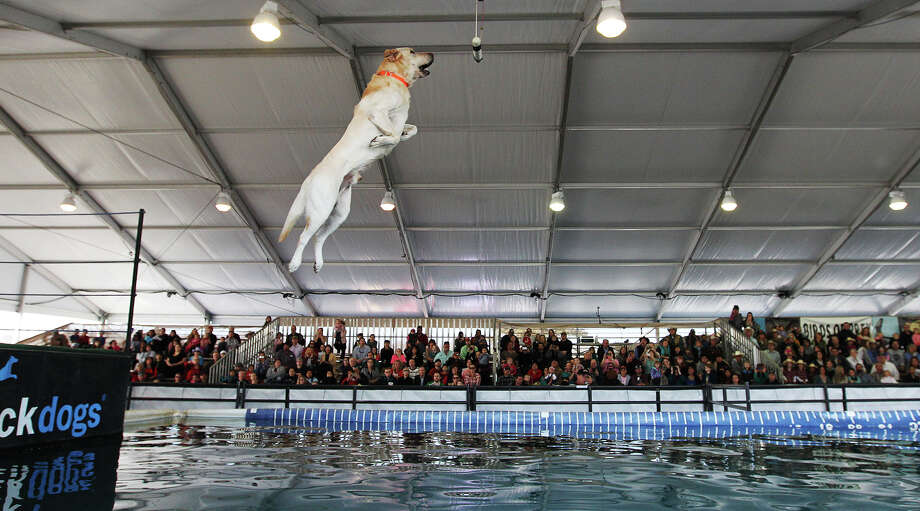 Six-year-old yellow lab, Buster, demonstrates his vertical leap abilities during the DockDogs, (cq), presentation at the San Antonio Stock Show and Rodeo, Sunday, Feb. 9, 2014. BusterÕs owner is Sophy Moreau, of Pearland, Texas Photo: JERRY LARA, San Antonio Express-News / © 2014 San Antonio Express-News
