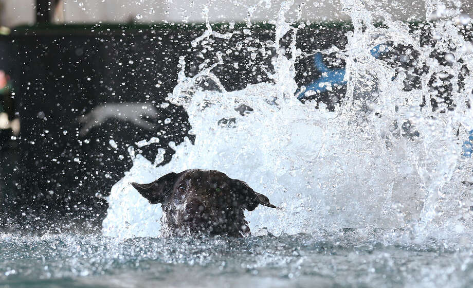 Rylee, a one-year-old chocolate lab, makes a splash while demonstrating her skills during the DockDogs, (cq), presentation at the San Antonio Stock Show and Rodeo, Sunday, Feb. 9, 2014. Her owner is Jamie Naetzker, of The Woodlands, Texas. Photo: JERRY LARA, San Antonio Express-News / © 2014 San Antonio Express-News