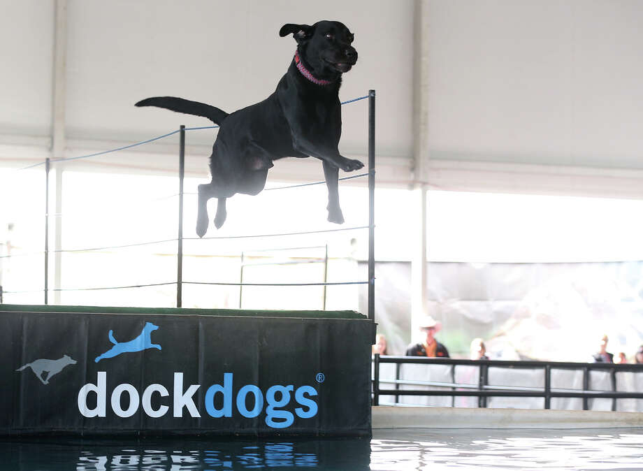 Rebel, a 3-year-old black lab, flies through the air during the DockDogs, (cq), demonstration at the San Antonio Stock Show and Rodeo, Sunday, Feb. 9, 2014. Rebel is owned by James Combs, of Killeen. Photo: JERRY LARA, San Antonio Express-News / © 2014 San Antonio Express-News