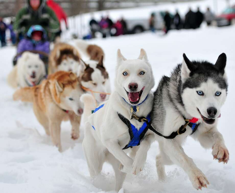 Hey, he's taking our picture!Happy huskies lead a dogsled team during the Winter Along the River event