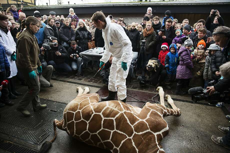TOPSHOTS A perfectly healthy young giraffe named Marius was shot dead at Copenhagen zoo on Febuary 9, 2014 despite an online petition to save it signed by thousands of animal lovers. Marius, an 18-month-old giraffe, was put down with a bolt gun early on Sunday, zoo spokesman Tobias Stenbaek Bro confirmed.  AFP PHOTO / SCANPIX DENMARK /  KASPER PALSNOV   +++ DENMARK OUT +++KASPER PALSNOV/AFP/Getty Images Photo: Kasper Palsnov, AFP/Getty Images