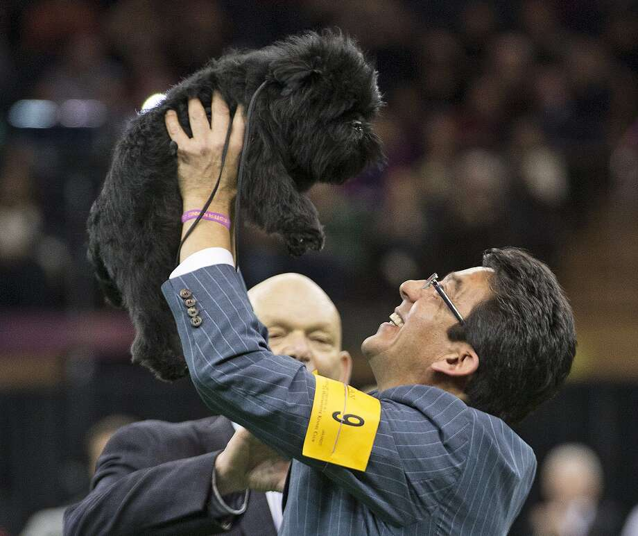 FILE - In this Feb. 12, 2013 file photo, Ernesto Lara celebrates with Banana Joe, an affenpinscher, who won Best in Show, during the 137th Westminster Kennel Club dog show at Madison Square Garden in New York. The winner of the 138th Westminster Kennel Club will be picked Tuesday night, Feb. 11, 2014, at Madison Square Garden. Photo: Frank Franklin II, AP / AP