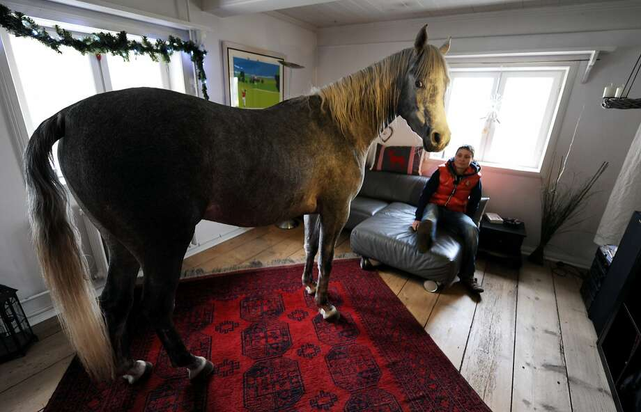 Move back into that drafty barn? I think not: Back in December, Stephanie Arndt let her Arabian, Nasar, come inside her old farm house in Holt, Germany, as a precaution during Hurricane Xavier. Now he won't leave. Photo: Carsten Rehder, AFP/Getty Images