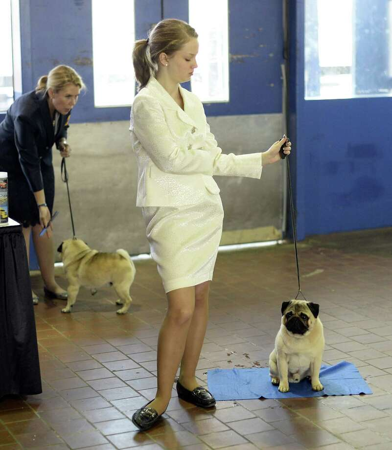 A handler  waits with her Pug for judging to start at Pier 92 and 94 in New York City  for the first day of competition at the 138th Annual Westminster Kennel Club Dog Show February 10, 2014. The Westminster Kennel Club Dog Show is a two-day, all-breed benched  show that takes place at both Pier 92 and 94 and at Madison Square Garden in New York City . Photo: TIMOTHY CLARY, AFP/Getty Images / 2014 AFP