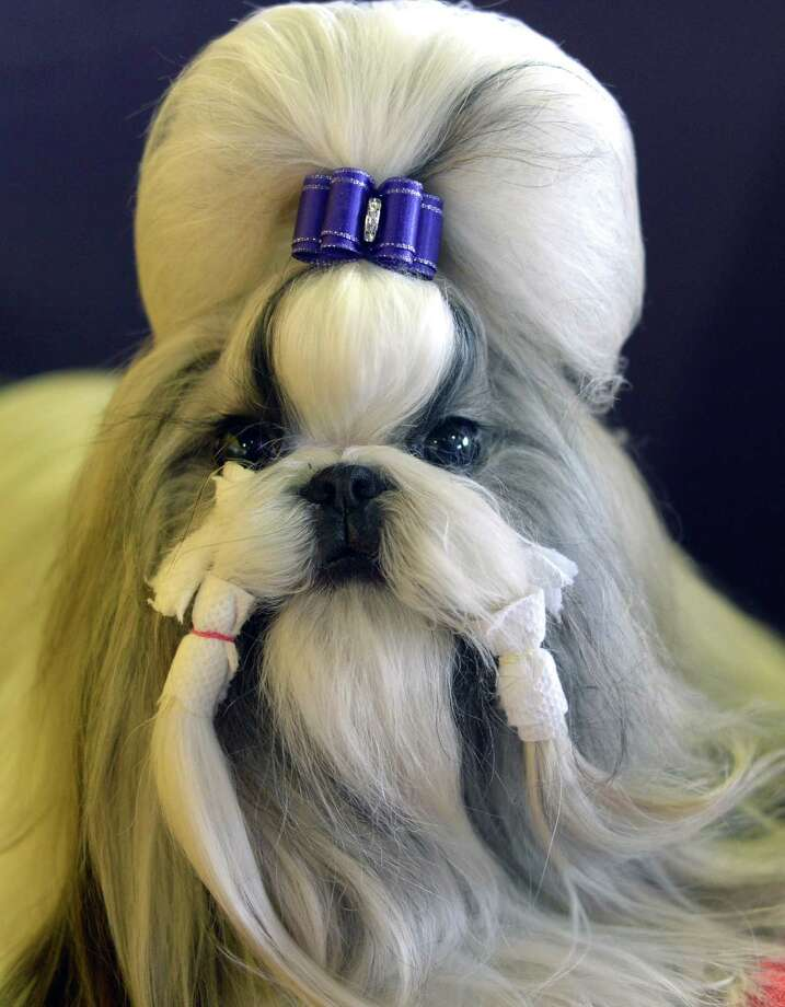 A Shih Tzu waits in the benching area for judging to start at Pier 92 and 94 in New York City  for the first day of competition at the 138th Annual Westminster Kennel Club Dog Show February 10, 2014. The Westminster Kennel Club Dog Show is a two-day, all-breed benched  show that takes place at both Pier 92 and 94 and at Madison Square Garden in New York City. Photo: TIMOTHY CLARY, AFP/Getty Images / 2014 AFP