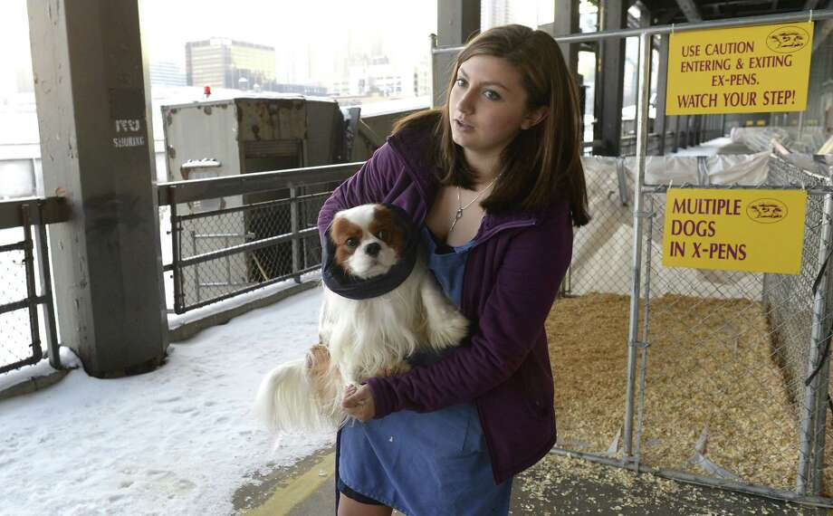 A handler takes her King Charles Spaniel to the bathroom area as they wait for judging  to start  at Pier 92 and 94 in New York City  for the first day of competition at the 138th Annual Westminster Kennel Club Dog Show February 10, 2014. The Westminster Kennel Club Dog Show is a two-day, all-breed benched  show that takes place at both Pier 92 and 94 and at Madison Square Garden in New York City. Photo: TIMOTHY CLARY, AFP/Getty Images / 2014 AFP