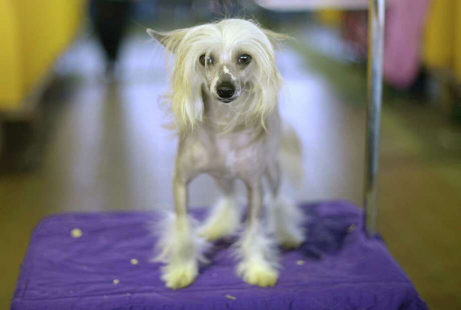 A Chinese Crested waits in the benching area before judging starts at Pier 92 and 94 in New York City  for the first day of competition at the 138th Annual Westminster Kennel Club Dog Show February 10, 2014. The Westminster Kennel Club Dog Show is a two-day, all-breed benched  show that takes place at both Pier 92 and 94 and at Madison Square Garden in New York City. Photo: TIMOTHY CLARY, AFP/Getty Images / 2014 AFP