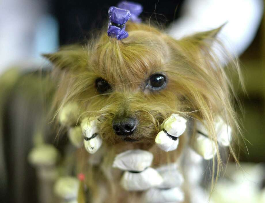 A Yorkshire Terrier in the benching area at Pier 92 and 94 in New York City for the first day of competition  at the 138th Annual Westminster Kennel Club Dog Show February 10, 2014. The Westminster Kennel Club Dog Show is a two-day, all-breed benched  show that takes place at both Pier 92 and 94 and at Madison Square Garden in New York City. Photo: TIMOTHY CLARY, AFP/Getty Images / 2014 AFP