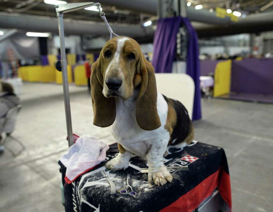 A Basset Hound waits in the benching area at  Pier 92 and 94 in New York City  for the first day of competition at the 138th Annual Westminster Kennel Club Dog Show February 10, 2014. The Westminster Kennel Club Dog Show is a two-day, all-breed show that takes place at both Pier 92 &94 and at Madison Square Garden in New York City. Photo: TIMOTHY CLARY, AFP/Getty Images / 2014 AFP