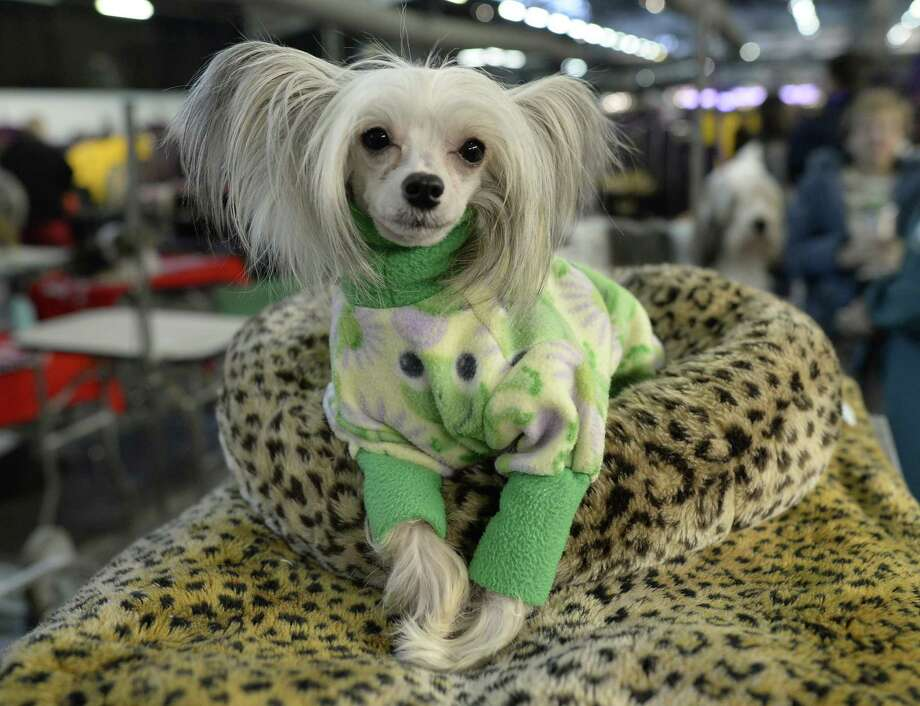 A Chinese Crested waits in the benching area at  Pier 92 and 94 in New York City  for the first day of competition at the 138th Annual Westminster Kennel Club Dog Show February 10, 2014. The Westminster Kennel Club Dog Show is a two-day, all-breed show that takes place at both Pier 92 and 94 and at Madison Square Garden in New York City. Photo: TIMOTHY CLARY, AFP/Getty Images / 2014 AFP