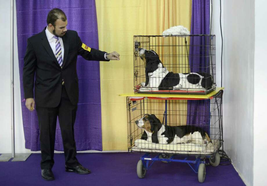 Handler Aaron Costilla with his Basset Hounds waits in the benching area at  Pier 92 and 94 in New York City for the first day of competition at the 138th Annual Westminster Kennel Club Dog Show February 10, 2014. The Westminster Kennel Club Dog Show is a two-day, all-breed show that takes place at both Pier 92 and 94 and at Madison Square Garden in New York City. Photo: TIMOTHY CLARY, AFP/Getty Images / 2014 AFP
