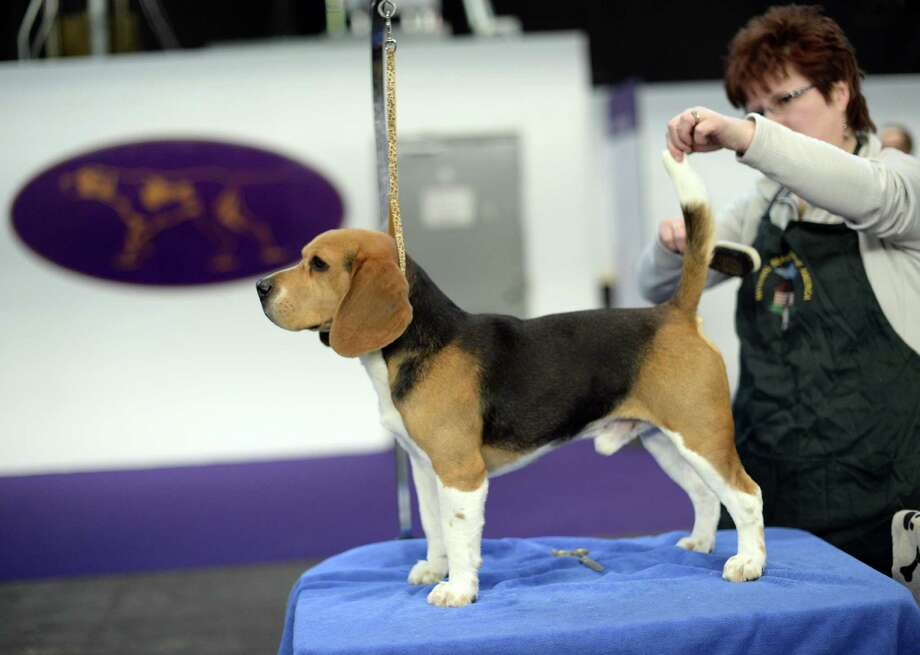 A Beagle is groomed  in the benching area at  Pier 92 and 94 in New York City  for the first day on competition at the 138th Annual Westminster Kennel Club Dog Show February 10, 2014. The Westminster Kennel Club Dog Show is a two-day, all-breed benched  show that takes place at both Pier 92 &94 and at Madison Square Garden in New York City. Photo: TIMOTHY CLARY, AFP/Getty Images / 2014 AFP