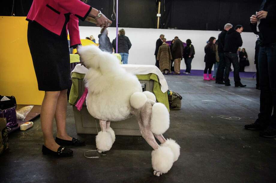 "NEW YORK, NY - FEBRUARY 10:  A Standard Poodle named ""Paris"" is prepared by a woman during the 138th annual Westminster Dog Show at the Piers 92/94 on February 10, 2014 in New York City. The annual dog show showcases the best dogs from around world for the next two days in New York. Photo: Andrew Burton, Getty Images / 2014 Getty Images"