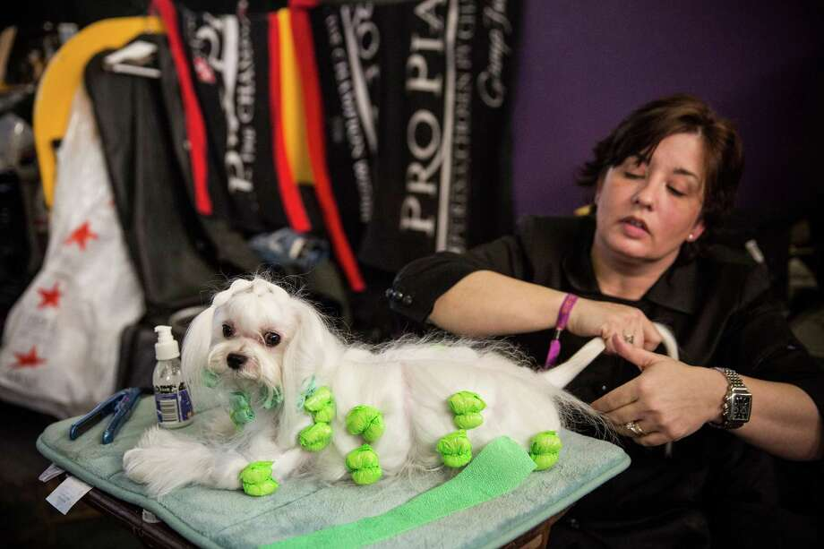 """NEW YORK, NY - FEBRUARY 10:  A Maltese named """"Jewels"""" is prepared by a woman during the 138th annual Westminster Dog Show at the Piers 92/94 on February 10, 2014 in New York City. The annual dog show showcases the best dogs from around world for the next two days in New York. Photo: Andrew Burton, Getty Images / 2014 Getty Images"""