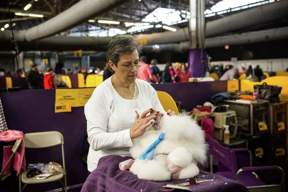 "NEW YORK, NY - FEBRUARY 10:  A Miniture Poodle named ""Soji"" is prepared by a woman during the 138th annual Westminster Dog Show at the Piers 92/94 on February 10, 2014 in New York City. The annual dog show showcases the best dogs from around world for the next two days in New York. Photo: Andrew Burton, Getty Images / 2014 Getty Images"