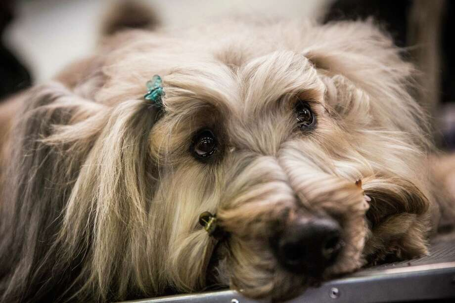 "NEW YORK, NY - FEBRUARY 10:  A Briard named ""Cagney"" waits with hairclips in during the 138th annual Westminster Dog Show at the Piers 92/94 on February 10, 2014 in New York City. The annual dog show showcases the best dogs from around world for the next two days in New York. Photo: Andrew Burton, Getty Images / 2014 Getty Images"