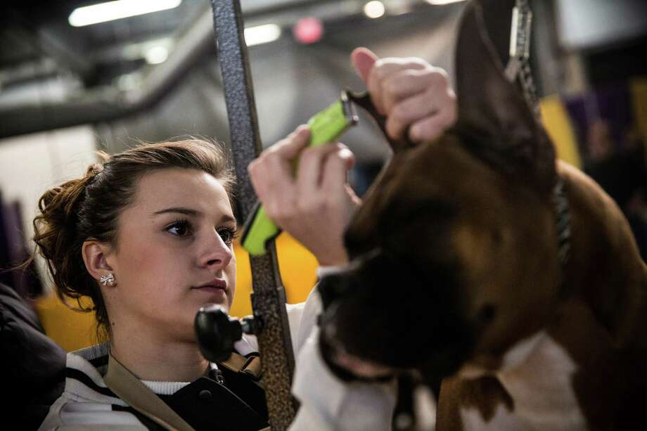 "NEW YORK, NY - FEBRUARY 10:  A boxer named ""Hunter"" has his ears shaved by Brooke Moyer during the 138th annual Westminster Dog Show at the Piers 92/94 on February 10, 2014 in New York City. The annual dog show showcases the best dogs from around world for the next two days in New York. Photo: Andrew Burton, Getty Images / 2014 Getty Images"