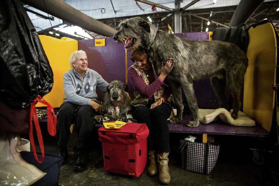 """NEW YORK, NY - FEBRUARY 10:  An Irish Wolfhound named """"Tynan"""" stands next to his owner, Donna Monahan, during the 138th annual Westminster Dog Show at the Piers 92/94 on February 10, 2014 in New York City. The annual dog show showcases the best dogs from around world for the next two days in New York. Photo: Andrew Burton, Getty Images / 2014 Getty Images"""