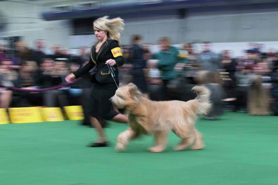 A Briard and its handler present during the Westminster Kennel Club dog show, Monday, Feb. 10, 2014, in New York. (AP Photo/John Minchillo) Photo: John Minchillo, Associated Press / FR170537 AP
