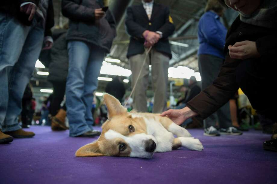 Dewey, a Cardigan Welsh Corgi, rests after competing in the Westminster Kennel Club dog show, Monday, Feb. 10, 2014, in New York. (AP Photo/John Minchillo) Photo: John Minchillo, Associated Press / FR170537 AP