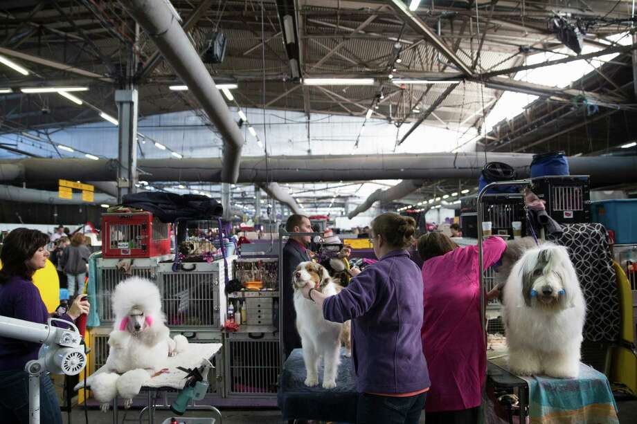 Dogs are prepped in the benching area before competition at the Westminster Kennel Club dog show, Monday, Feb. 10, 2014, in New York. (AP Photo/John Minchillo) Photo: John Minchillo, Associated Press / FR170537 AP