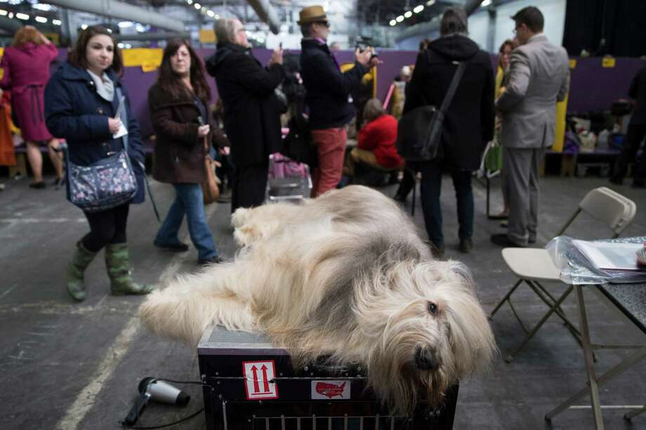 Cagney, a Briard, rests in the beaching area during the Westminster Kennel Club dog show, Monday, Feb. 10, 2014, in New York. (AP Photo/John Minchillo) Photo: John Minchillo, Associated Press / FR170537 AP