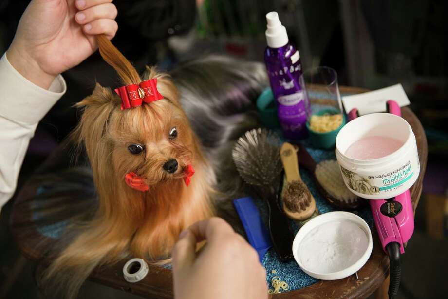 Jordan, a Yorkshire Terrier, is prepped in the benching area during the Westminster Kennel Club dog show, Monday, Feb. 10, 2014, in New York. (AP Photo/John Minchillo) Photo: John Minchillo, Associated Press / FR170537 AP
