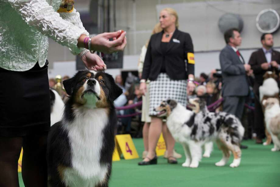 An Australian Shepherd eyes a treat before presenting during the Westminster Kennel Club dog show, Monday, Feb. 10, 2014, in New York. (AP Photo/John Minchillo) Photo: John Minchillo, Associated Press / FR170537 AP