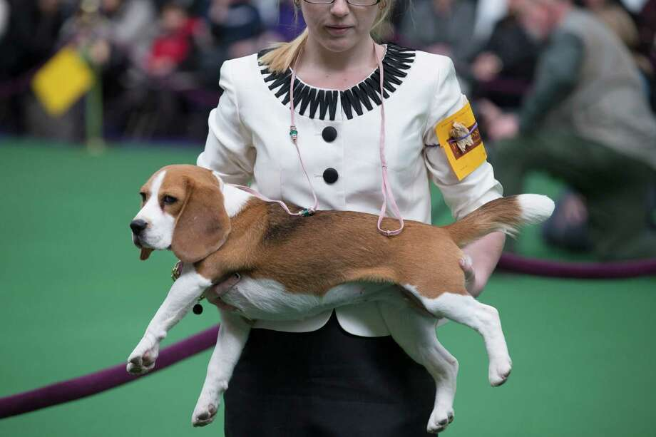 A Beagle is held before being placed on a judging table during the Westminster Kennel Club dog show, Monday, Feb. 10, 2014, in New York. (AP Photo/John Minchillo) Photo: John Minchillo, Associated Press / FR170537 AP