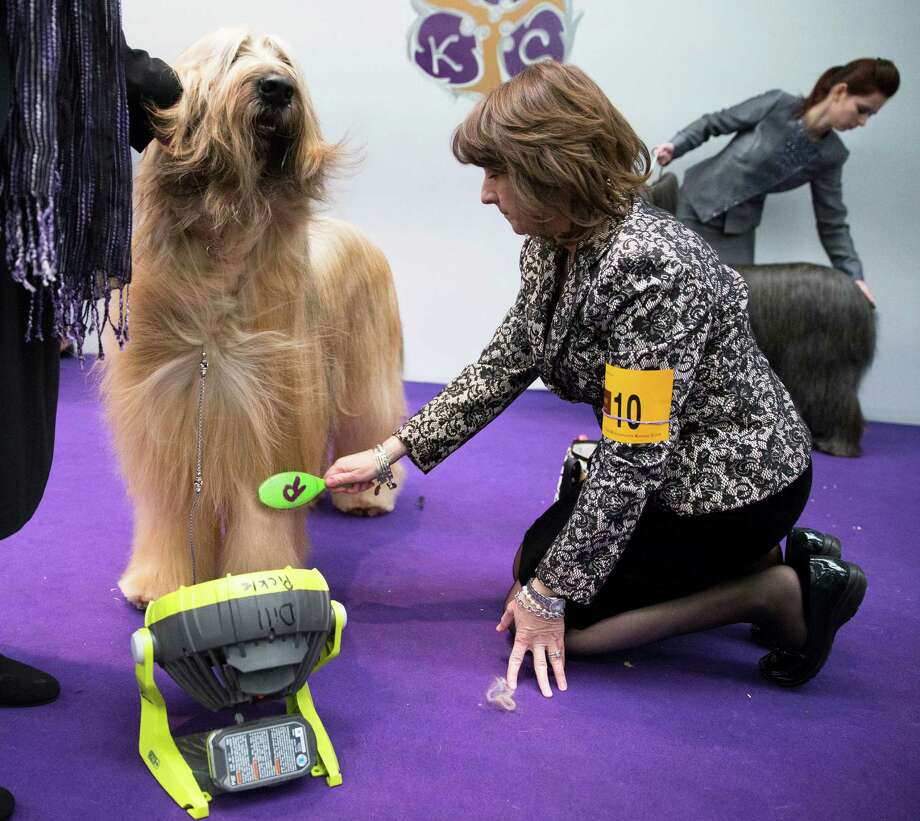Dill Pickle, a Briard, is brushed while being cooled by a fan ringside before a competition during the Westminster Kennel Club dog show, Monday, Feb. 10, 2014, in New York. (AP Photo/John Minchillo) Photo: John Minchillo, Associated Press / FR170537 AP
