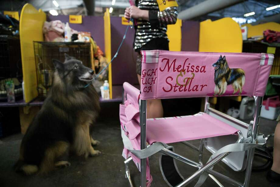 Stellar, a Belgian Tervuren, sits on command in the benching area during the Westminster Kennel Club dog show, Monday, Feb. 10, 2014, in New York. (AP Photo/John Minchillo) Photo: John Minchillo, Associated Press / FR170537 AP