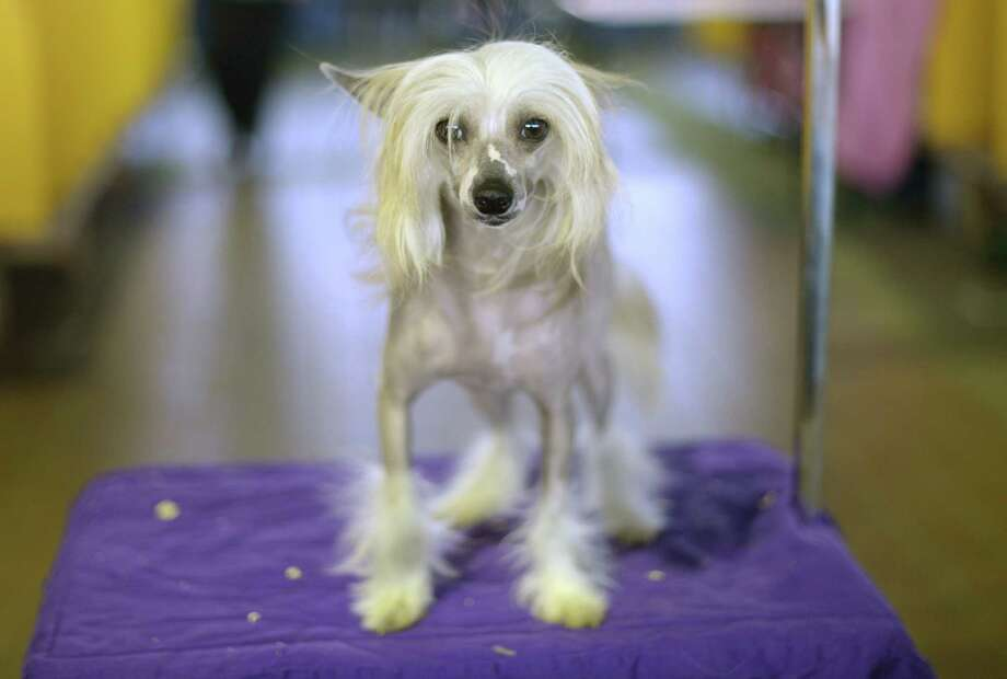 A Chinese Crested waits in the benching area before judging starts at Pier 92 and 94 in New York City  for the first day of competition at the 138th Annual Westminster Kennel Club Dog Show February 10, 2014. The Westminster Kennel Club Dog Show is a two-day, all-breed benched  show that takes place at both Pier 92 and 94 and at Madison Square Garden in New York City .     AFP PHOTO / Timothy ClaryTIMOTHY CLARY/AFP/Getty Images Photo: TIMOTHY CLARY, AFP/Getty Images / AFP