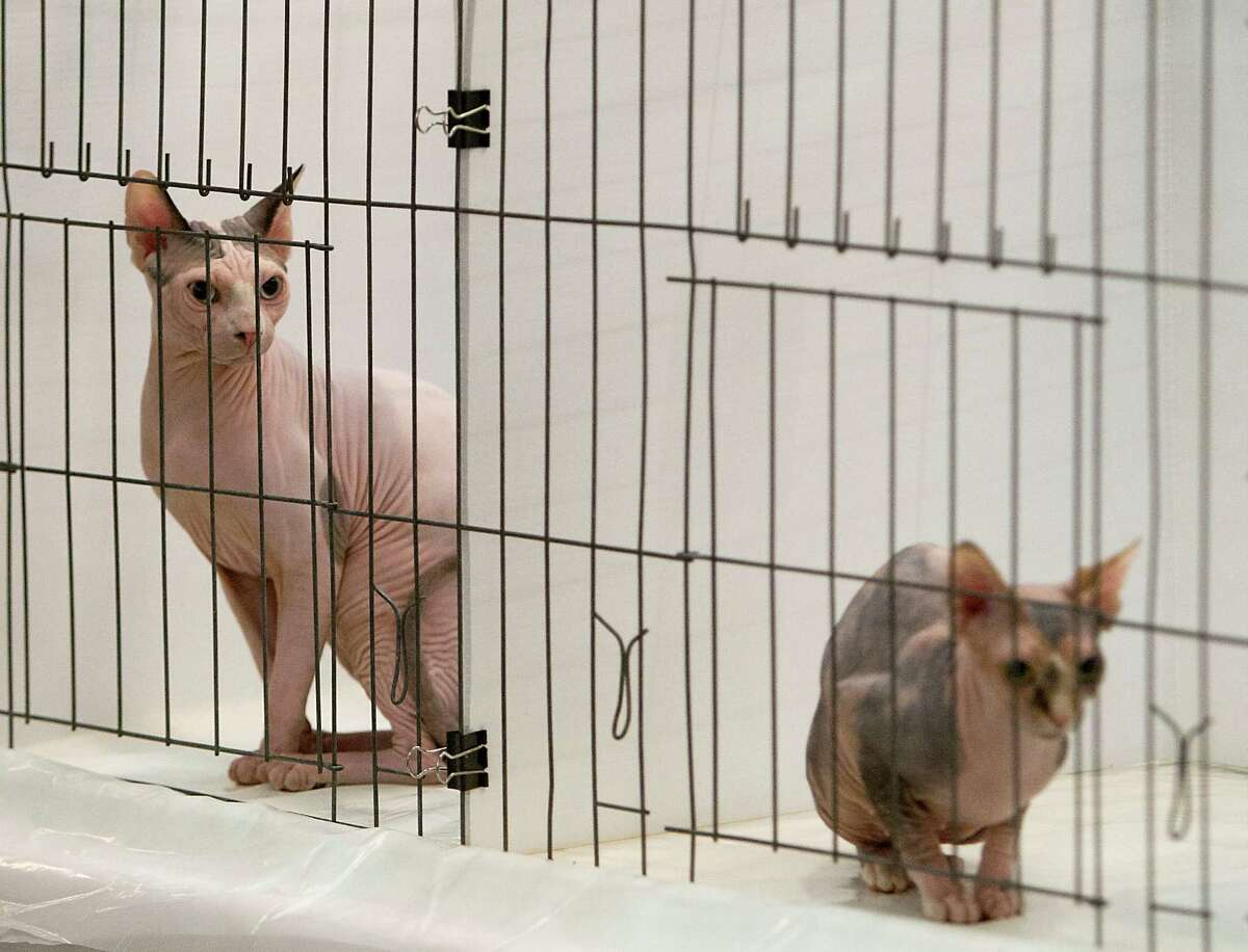 Sphynx cats sit in the judging area during the South Central Regional International Cat Show at the Houston Marriott North Saturday, Aug. 3, 2013, in Houston.
