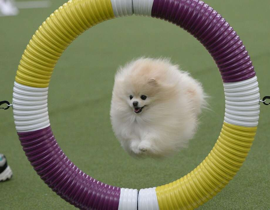 A fur missile identified as a Pomeranian blasts through a ring during the first-ever Masters Agility Championship at the Westminster Kennel Club Dog Show. Photo: Timothy A. Clary, AFP/Getty Images