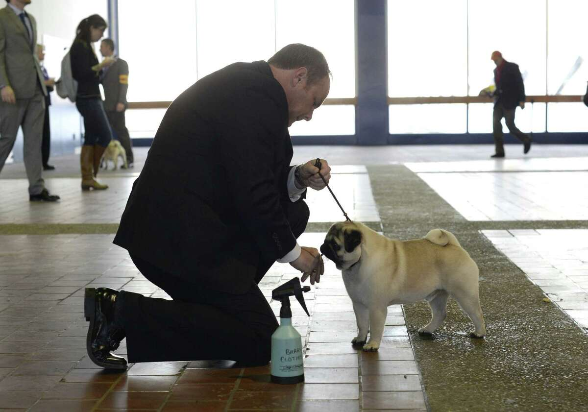 Handler Barry Clothier waits with his Pug for judging to start at Pier 92 and 94 in New York City for the first day of competition at the 138th Annual Westminster Kennel Club Dog Show February 10, 2014. The Westminster Kennel Club Dog Show is a two-day, all-breed benched show that takes place at both Pier 92 and 94 and at Madison Square Garden in New York City.
