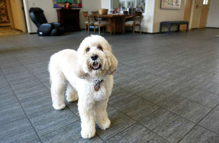 Mogie the Labradoodle lives at the Ronald McDonald House. Photo: Karen Warren, Staff / © 2012  Houston Chronicle