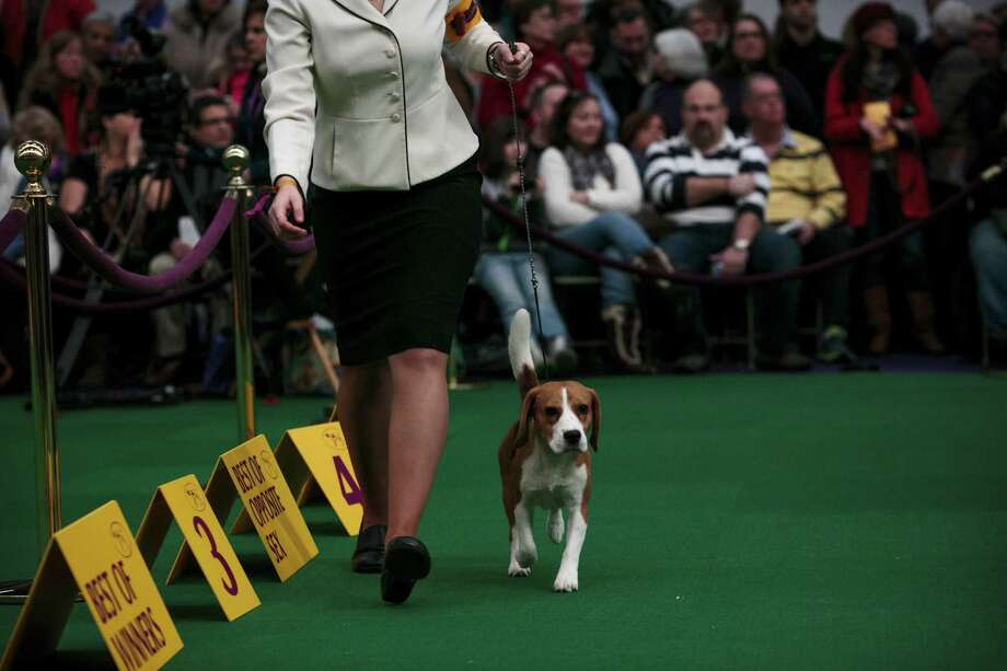 A beagle walks during inspection in its best of breed competition at the Westminster Kennel Club 138th Annual Dog Show in New York, Feb. 10, 2014. (Andrew White/The New York Times) ORG XMIT: XNYT79 Photo: ANDREW WHITE / © Andrew White 2014