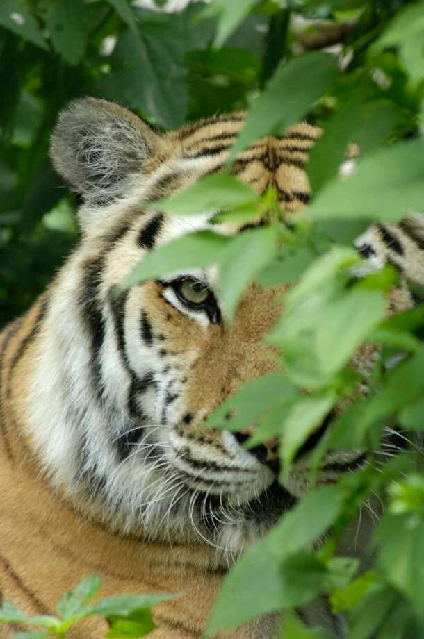 A Siberian Tiger. Photo: Contributed Photo/Julie Larsen Maher, Contributed Photo / The News-Times Contributed
