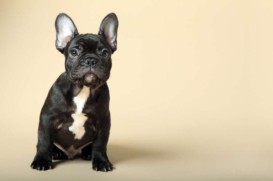 10. French Bulldog Photo: Mlorenzphotography, Getty Images/Flickr RF