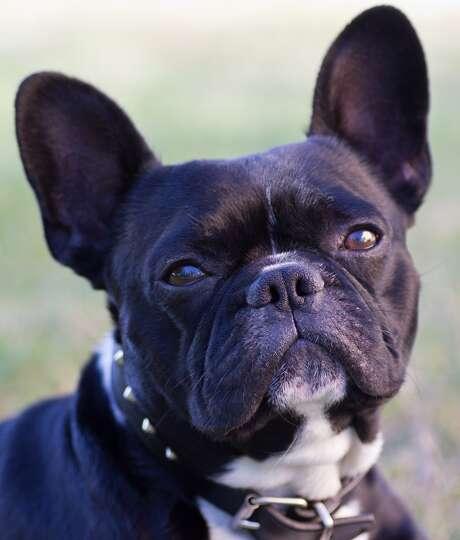 10  French Bulldog