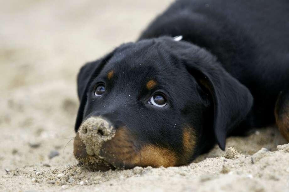 7. Rottweiler Photo: Copyright Www.pfotenblitzer.de, Getty Images/Flickr RF