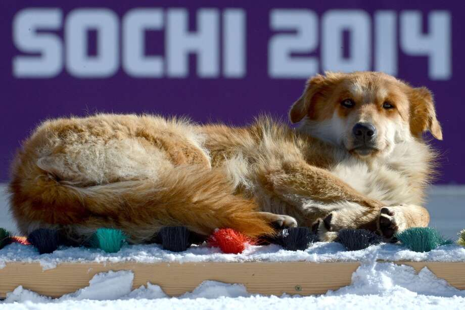 A dog basks in the sun as athlete take part in an unofficial cross-country training session at the Laura Cross Country Skiing and Biathlon Centre in Rosa Khutor, near Sochi, on February 5, 2014. The Sochi Winter Olympics 2014 officially opens on February 7th.  AFP PHOTO/KIRILL KUDRYAVTSEVKIRILL KUDRYAVTSEV/AFP/Getty Images Photo: KIRILL KUDRYAVTSEV, AFP/Getty Images