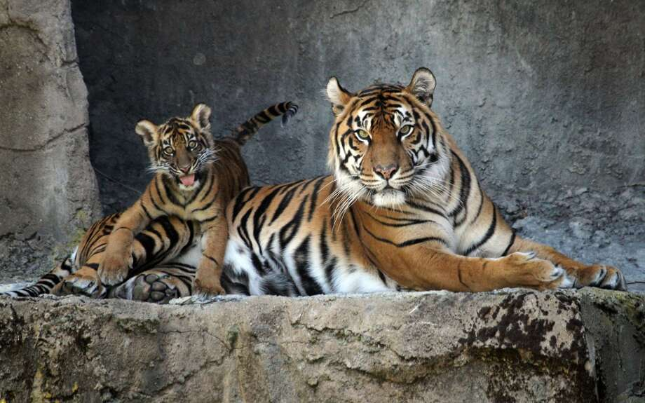 Leanne and ten year old tiger and mother of baby Jillian, play in their enclosure at Wednesday, May 22, 2013 at the San Francisco zoo. Jillian Manus from Atherton California paid $47,000 for the privilege of naming the cub after herself. (Lance Iversen/The Chronicle) Photo: Lance Iversen, The Chronicle