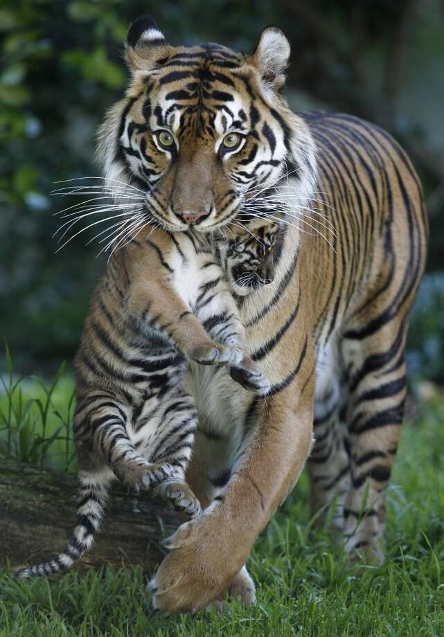 Leanne carries her 2-month-old Sumatran tiger cub Jillian through their outdoor enclosure at the San Francisco Zoo in San Francisco, Calif. on Thursday, April 11, 2013. The public can get its first glimpse of the still unnamed female cub venturing outside of the Lion House beginning Friday. (Paul Chinn/The Chronicle) Photo: Paul Chinn, The Chronicle