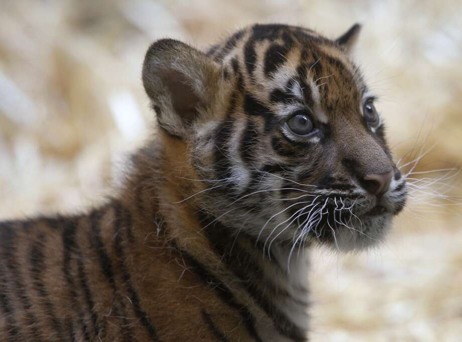 A Sumatran tiger cub looks up at her keeper at the San Francisco Zoo in San Francisco, Calif. on Friday, March 22, 2013. The yet-to-be-named 5-week-old female cub makes her public debut Saturday with her mother, Leanne. (Paul Chinn/The Chronicle) Photo: Paul Chinn, The Chronicle