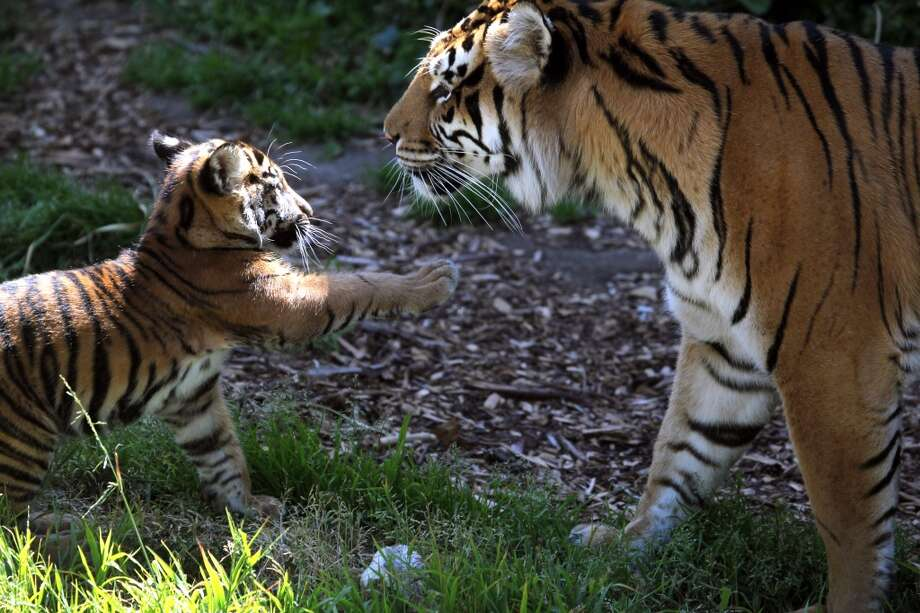 Le Anne and ten year old tiger and mother of baby Jillian, play in their enclosure at Wednesday, May 22, 2013 at the San Francisco zoo. Jillian Manus from Atherton California paid $47,000 for the privilege of naming the cub after herself. (Lance Iversen/The Chronicle) Photo: Lance Iversen, The Chronicle