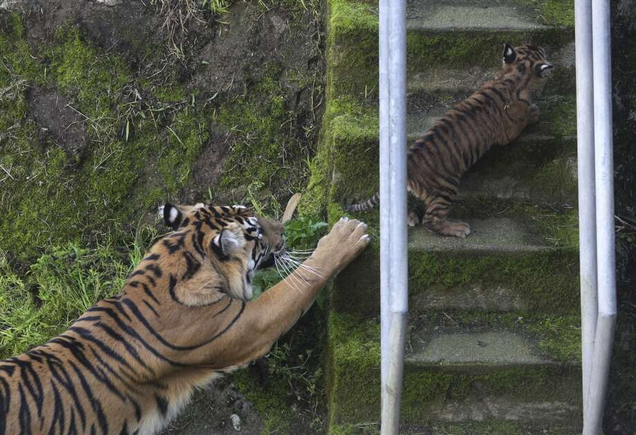 Sumatran tiger mom Leanne teaches her 2-month-old cub how to climb the stairs from the lower moat of their outdoor enclosure at the San Francisco Zoo in San Francisco, Calif. on Thursday, April 11, 2013. The public can get its first glimpse of the still unnamed female cub venturing outside of the Lion House beginning Friday. (Paul Chinn/The Chronicle) Photo: Paul Chinn, The Chronicle
